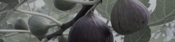 Feigenbaum-reife-Feigensc