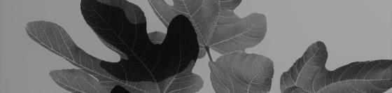 Immer dekoativ durch das schoene Laub sind alle Feigenbaeume Ficus carica Madeleine des deux Saisonssc